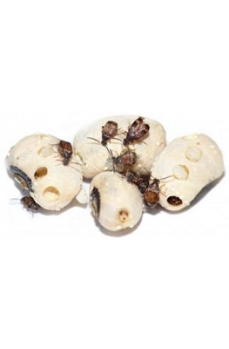 Bruche du haricot (Acanthoscelides obtectus)