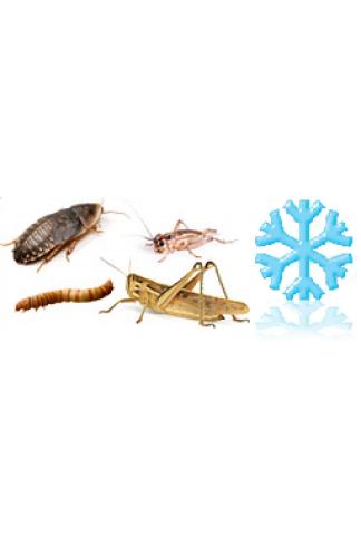 Insectes congelés